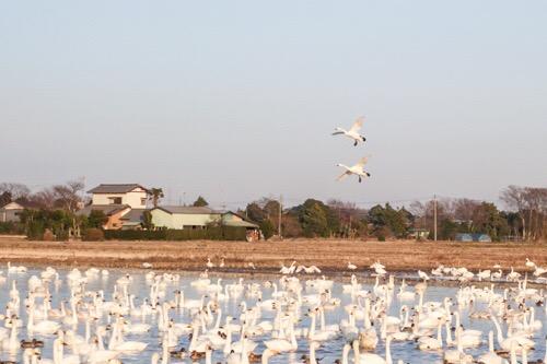 白鳥(ハクチョウ)観てきました|千葉県印西市 本埜付近